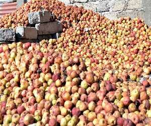 harmful weather for apple farming