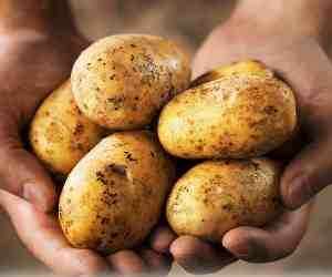 Rain damage to potato cultivation