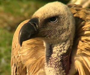 vultures_surprising_fact