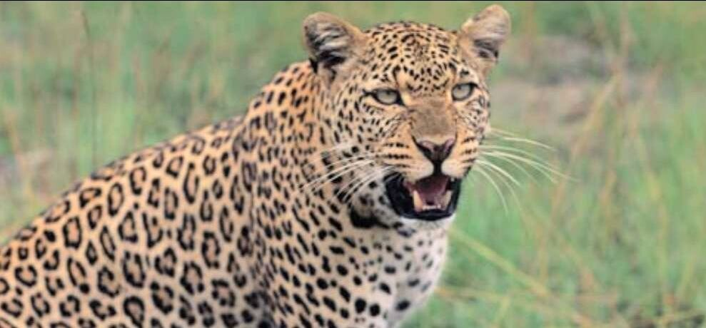 जंगल में तेंदुए ने किया हमला, मौके पर ही मौत
